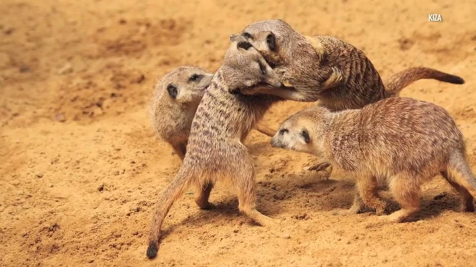 News - Meerkats have been ranked the most murderous mammal - The ...
