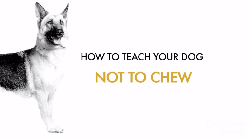 How to teach your dogs not to chew