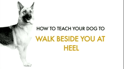 How to teach your dog walk beside you at heel